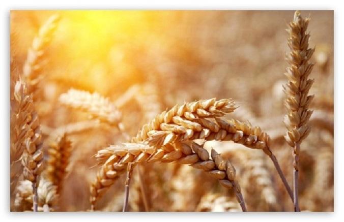 ripe_wheat_ears_2-t2
