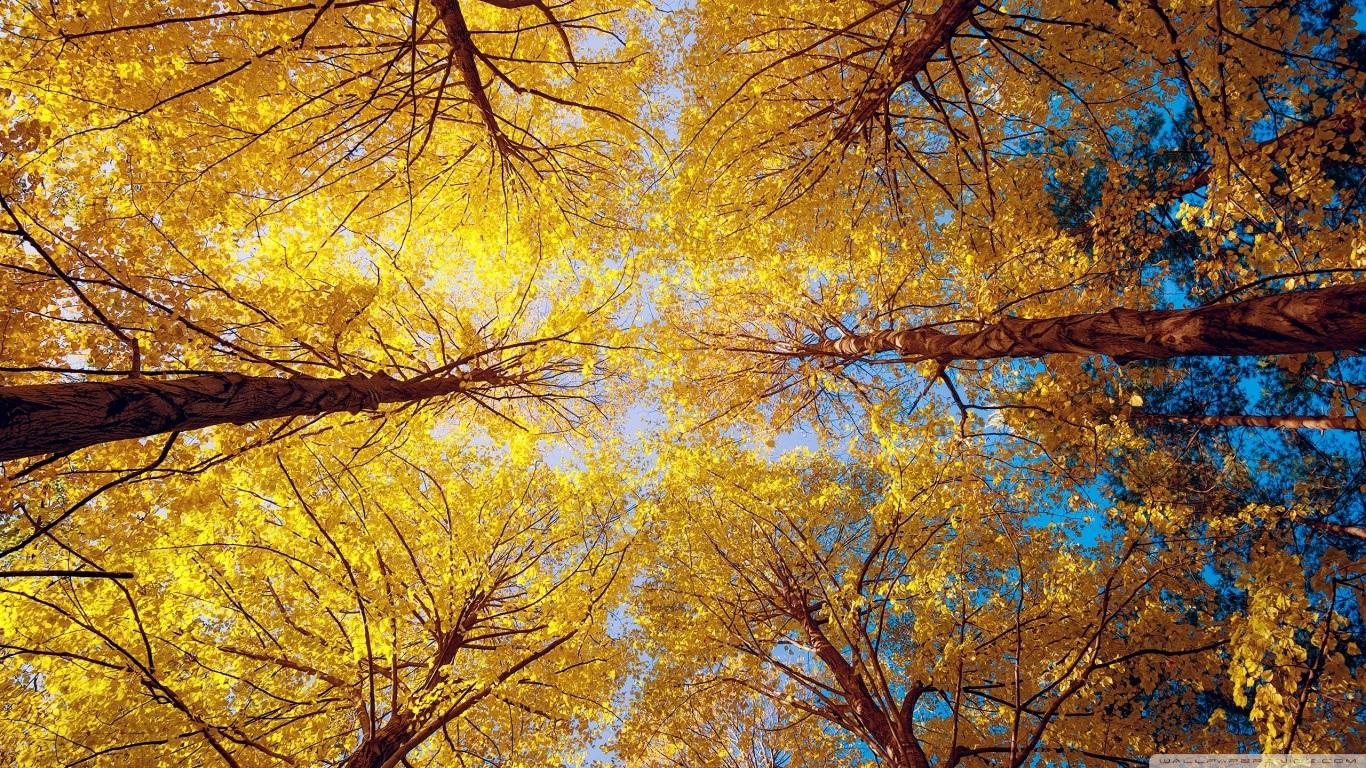 yellow_trees_2-wallpaper-1366x768